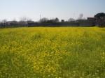 quasi-primavera,primavera,inverno,campagna,fiori,rosa,giallo,bianco,rinascita,natura