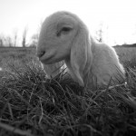 Pecorella.jpg